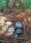 duck eggs_4654
